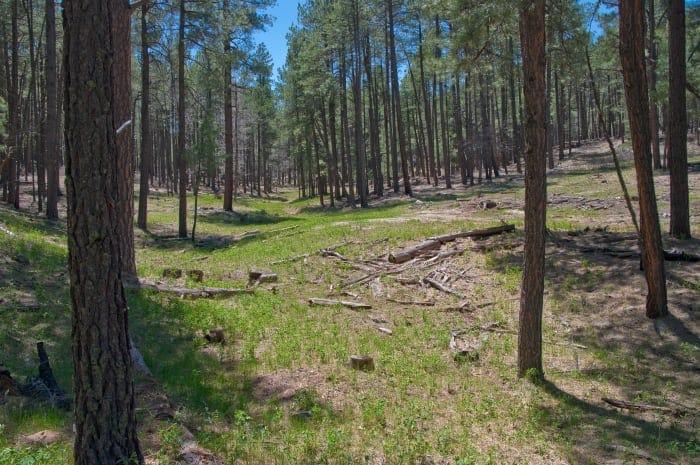 Bosque fresco cerca de Flagstaff, un gran lugar para no pensar en el aire acondicionado.
